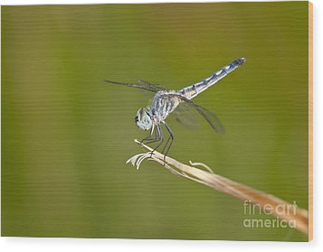 Wood Print featuring the photograph Blue Dasher On The Edge by Bryan Keil