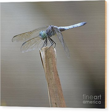 Wood Print featuring the photograph Blue Dasher by Randy Bodkins