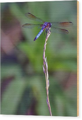 Blue Dragonfly On A Blade Of Grass  Wood Print
