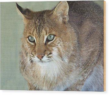 Blue Eyed Bobcat Wood Print by Jennifer  King