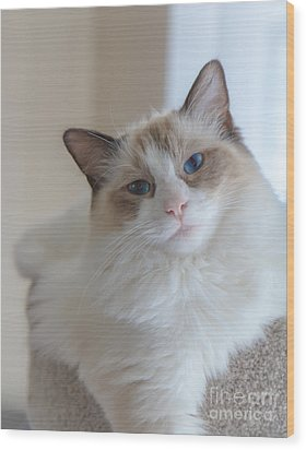 Blue-eyed Ragdoll Kitten Wood Print by Peta Thames