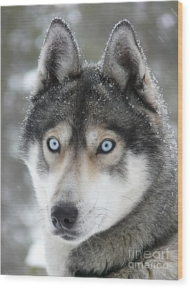 Blue Eyes Husky Dog Wood Print