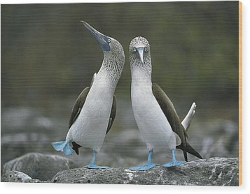 Blue Footed Booby Dancing Wood Print by Tui De Roy