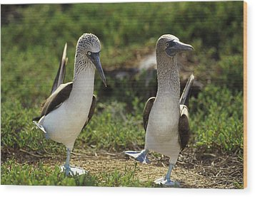 Blue-footed Booby Pair In Courtship Wood Print by Tui De Roy