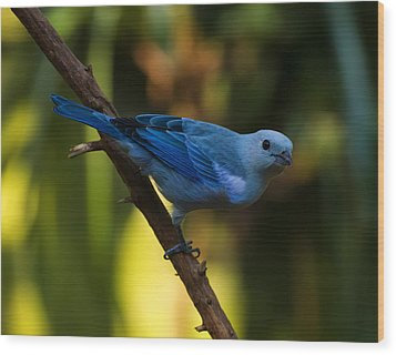 Blue Grey Tanager Wood Print