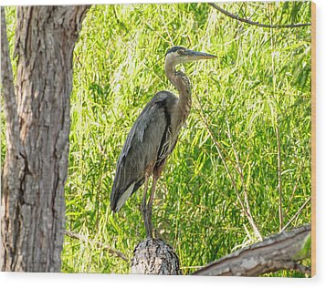 Blue Heron At Rest Wood Print