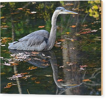 Blue Heron In Autumn Waters Wood Print by Frozen in Time Fine Art Photography
