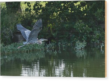 Blue Heron Take-off Wood Print