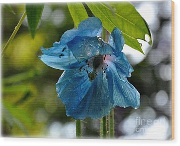 Blue Himalayan Poppy Wood Print