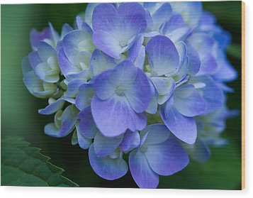 Wood Print featuring the photograph Blue Hydrangea by John Hoey
