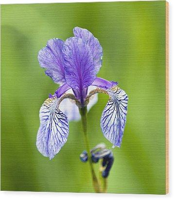 Blue Iris Wood Print by Frank Tschakert