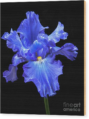 Blue Iris Wood Print by Robert Bales