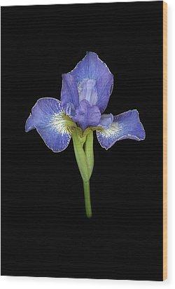 Blue Japanese Iris Wood Print