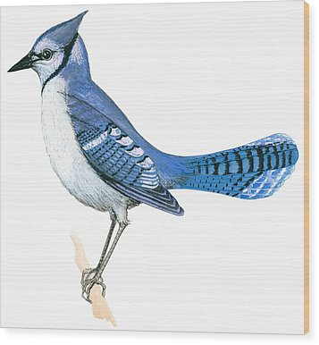 Blue Jay  Wood Print by Anonymous