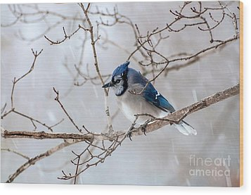 Blue Jay In Blowing Snow Wood Print