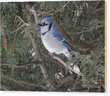 Wood Print featuring the photograph Blue Jay In The Cedars by Brenda Brown