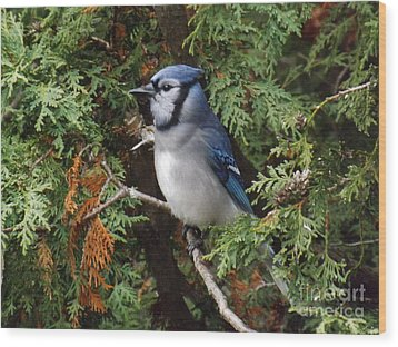 Wood Print featuring the photograph Blue Jay In Cedar Tree 2 by Brenda Brown