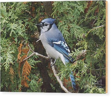 Wood Print featuring the photograph Blue Jay In Cedar Tree by Brenda Brown