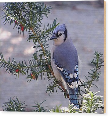 Wood Print featuring the photograph Blue Jay - Morning Visitor  by Susan  Dimitrakopoulos