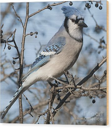 Blue Jay.. Wood Print by Nina Stavlund