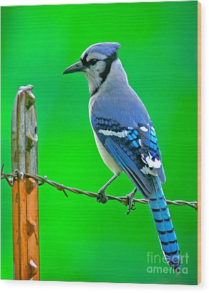 Blue Jay On The Fence Wood Print