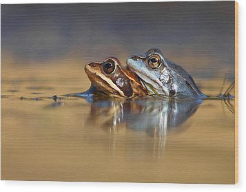 Blue Love ... Mating Moor Frogs  Wood Print by Roeselien Raimond