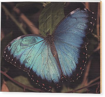 Wood Print featuring the photograph Blue Morpho by Bill Woodstock