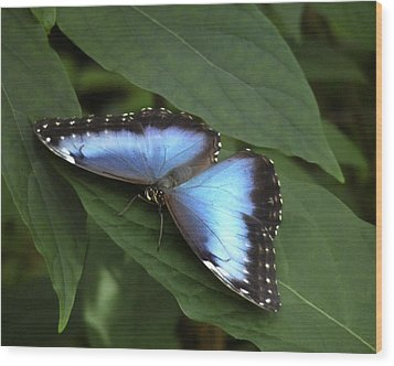 Blue Morpho Butterfly I. Wood Print