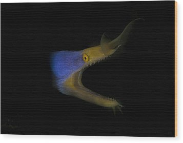 Blue Ribbon Eel Wood Print