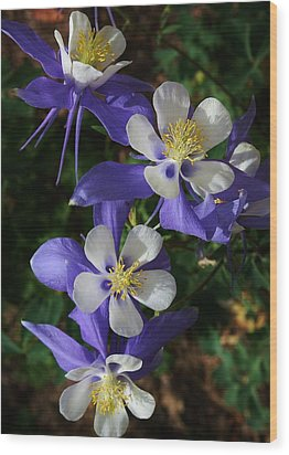 Blue Saphire Columbine Wood Print by Bruce Bley