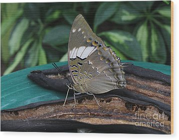 Blue-spotted Charaxes Butterfly Wood Print