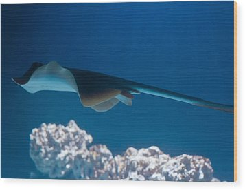 Wood Print featuring the photograph Blue Spotted Fantail Ray by Eti Reid