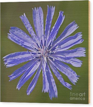 Blue Star... Wood Print by Nina Stavlund