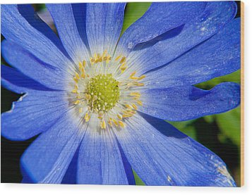 Blue Swan River Daisy Wood Print