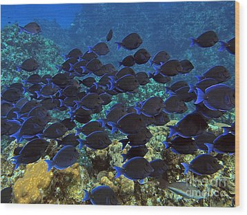 Blue Tangs Wood Print by Carey Chen