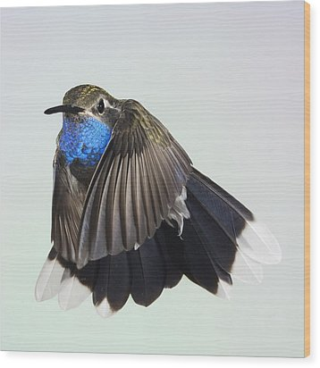 Blue Throated Hummingbird Wood Print by Gregory Scott