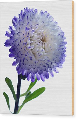 Blue Tipped Aster Wood Print by Terence Davis