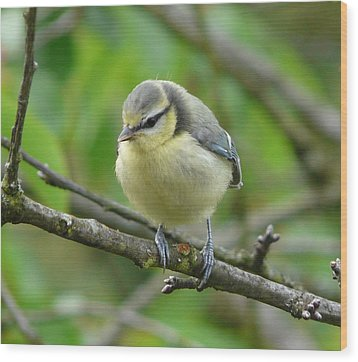 Blue Tit In A Cherry Tree Wood Print by Valerie Ornstein