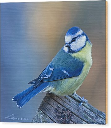 Blue Tit Looking Behind Wood Print by Torbjorn Swenelius