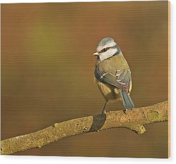 Wood Print featuring the photograph Blue Tit by Paul Scoullar