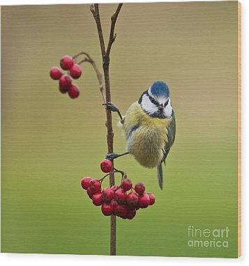 Blue Tit With Hawthorn Berries Wood Print by Liz Leyden