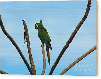 Blue-winged Macaw, Brazil Wood Print by Gregory G. Dimijian, M.D.