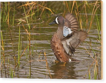 Wood Print featuring the photograph Blue-winged Teal by Ram Vasudev