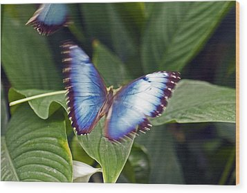 Blue Wings Wood Print