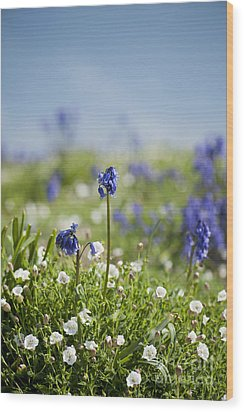 Bluebells In Sea Campion Wood Print by Anne Gilbert