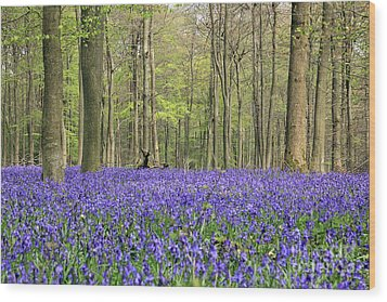 Bluebells Surrey England Uk Wood Print