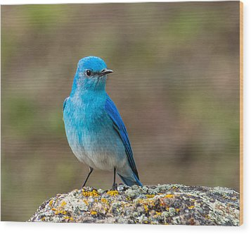 Bluebird In Yellowstone Spring Wood Print by Yeates Photography