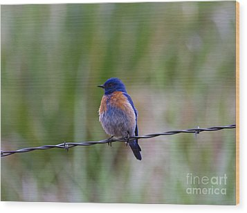 Bluebird On A Wire Wood Print by Mike  Dawson