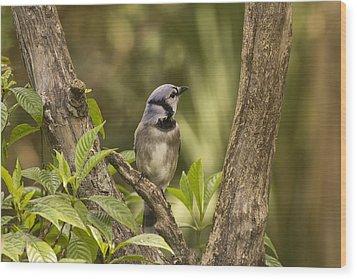 Bluejay In Fork Of Tree Wood Print by Anne Rodkin