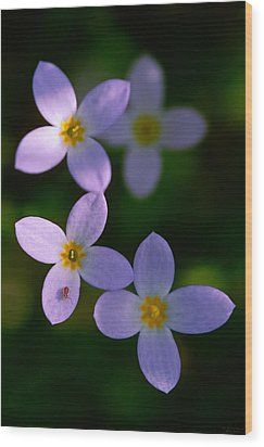 Wood Print featuring the photograph Bluets With Aphid by Marty Saccone